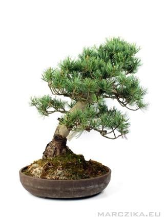 Goyomatsu - Pinus parviflora fenyő bonsai alapanyag 01.