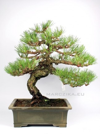Pinus thunbergii - Kuromatsu - Japán feketefenyő bonsai moyogi stílusban