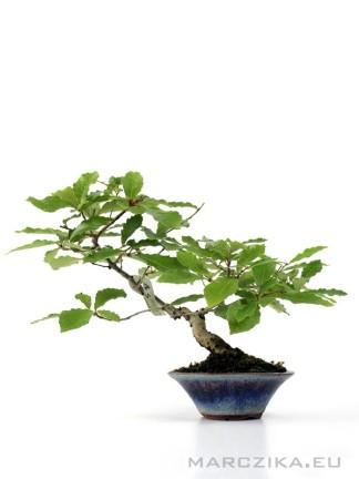 Quercus serrata Japán shohin bonsai shakan - bunjin stílusban