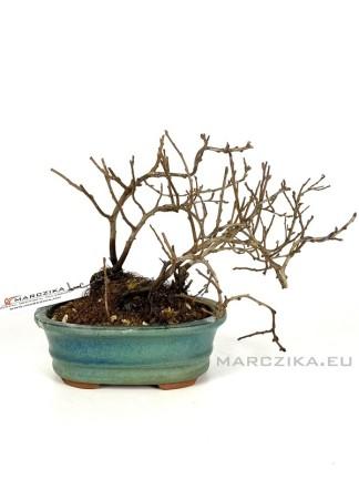 Chojubai - shohin bonsai alapanyag 01.
