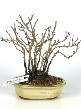Chojubai - shohin bonsai alapanyag 02.