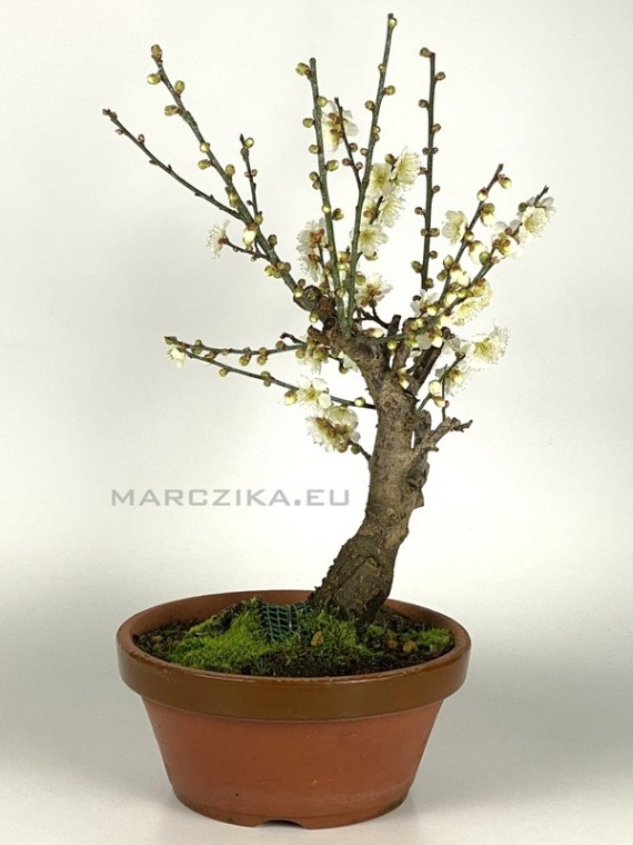 Prunus mume - bonsai Japánból 01.