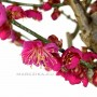 Prunus mume - bonsai Japánból 02.