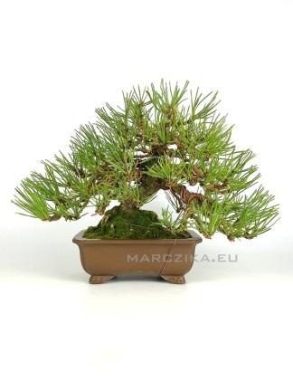 Pinus thunbergii shohin bonsai 02.