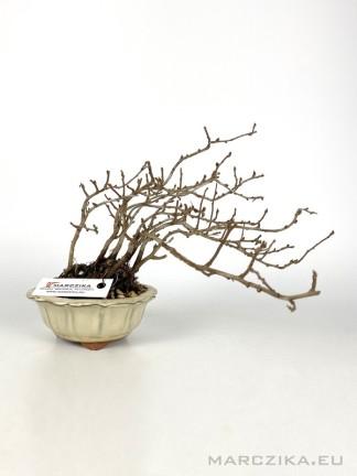 Chojubai - shohin bonsai alapanyag 04.