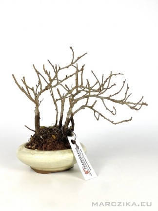 Chojubai - shohin bonsai alapanyag 05.