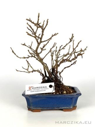Chojubai - shohin bonsai alapanyag 06.