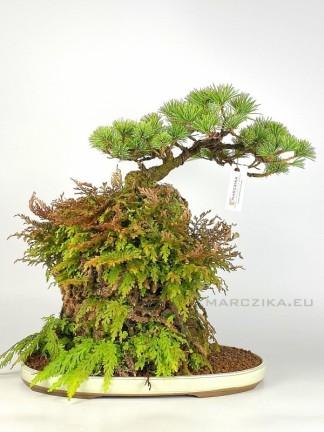 Ishitsuki fenyő bonsai Japánból