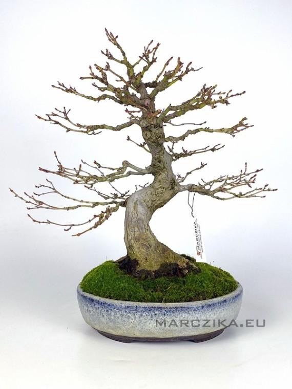 Acer palmatum 23 cm-es bonsai