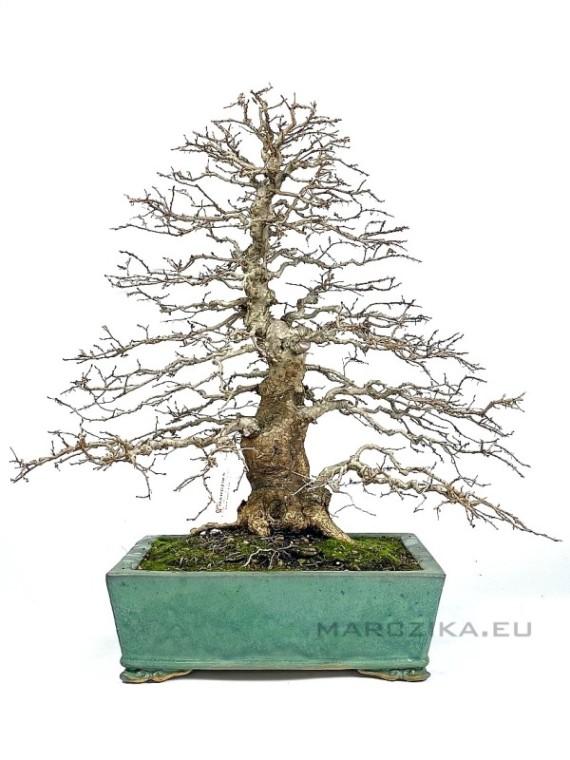 Carpinus coreana - klasszikus formájú lombhullató bonsai