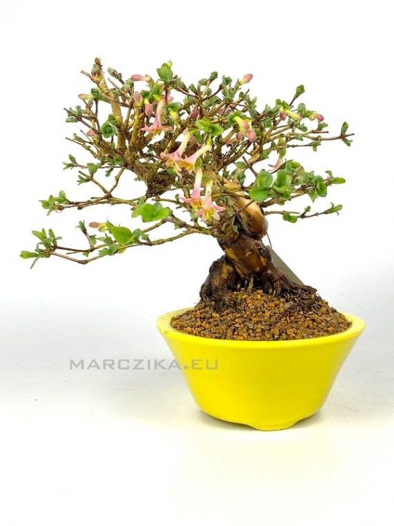 Lonicera sp. shohin bonsai 02.