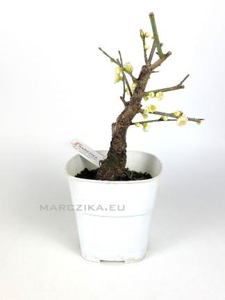 Prunus mume shohin bonsai alapanyag 02.