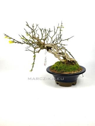 Téli jázmin bonsai alapanyag - Jasminum nudiflorum 02.