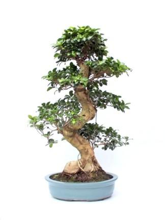 Beltéri bonsaiok