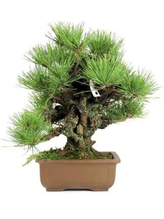 Fenyő (Pinus) bonsaiok