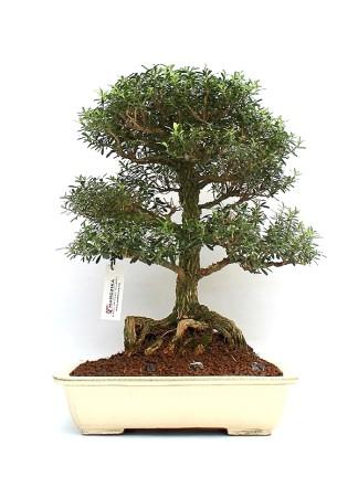 Boxwood (Buxus) bonsais