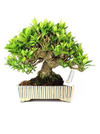 Shohin bonsaiok