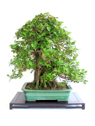 Bonsai növények