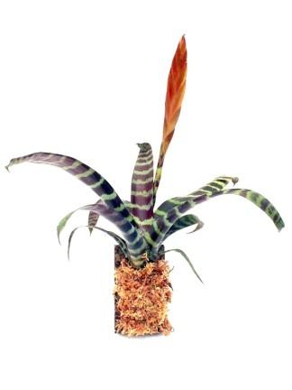 Broméliák parafa lapon