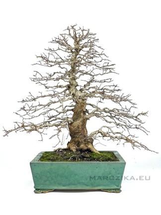 Lombhullató bonsaiok