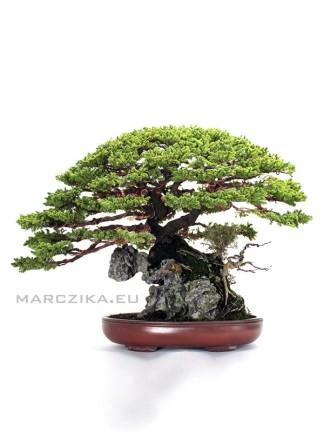 Örökzöld bonsaiok