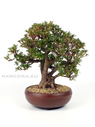 Rhododendron indicum 'Chinzan' japán bonsai 01.