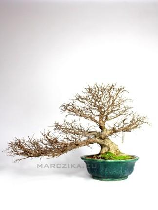 Félkaszkád Carpinus coreana bonsai japán bonsai tálban