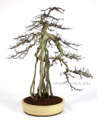 Neagari Acer buergerianum bonsai