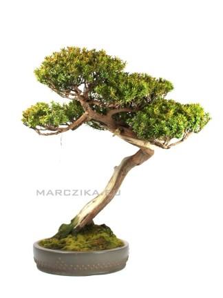Bunjin Taxus cuspidata bonsai Japánból