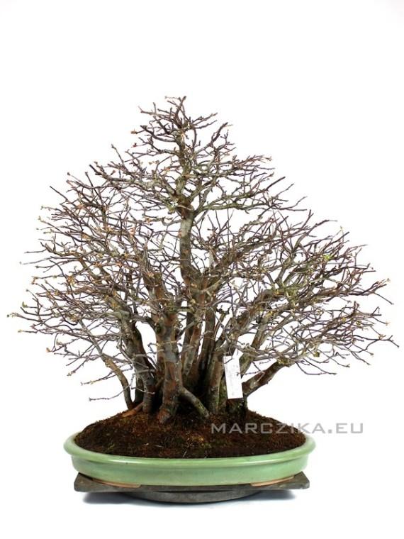 Yose ue stílusú Pseudocydonia chinensis - Japán bonsai