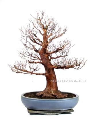 Stewartia monadelpha bonsai Japánból