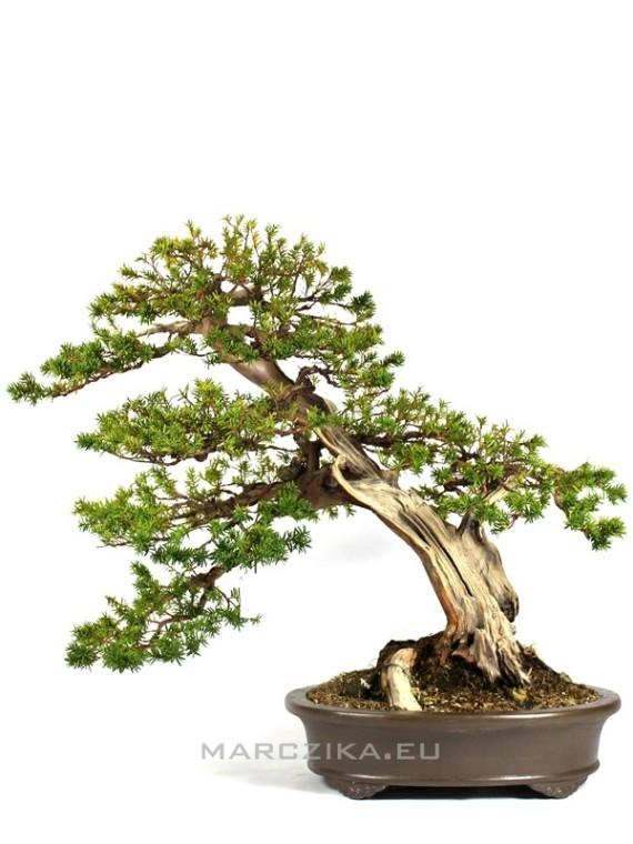 Taxus cuspidata öreg japán bonsai