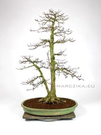 Acer buergerianum bonsai Japánból - sokan stílusú Kaede
