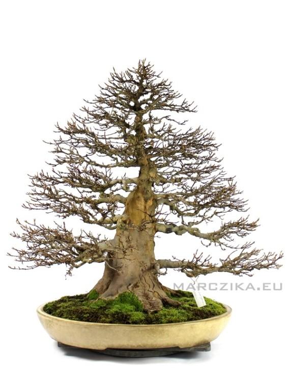 Acer buergerianum - Kaede bonsai Japánból