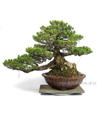 Pinus parviflora 'Kokonoe' - Gaito kengai Goyomatsu bonsai