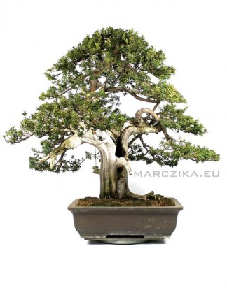 Taxus cuspidata Japán bonsai - Big bonsai