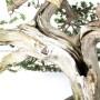 Taxus cuspidata Japán bonsai - Big bonsai