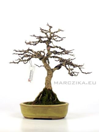 Premna japonica kifu méretű bonsai