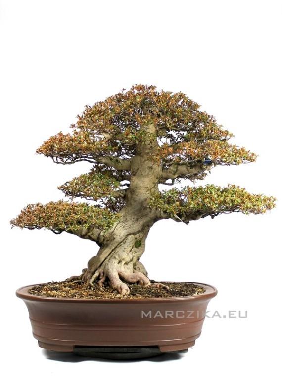Rhododendron indicum 'Kinsai' japán bonsai - Satsuki azálea