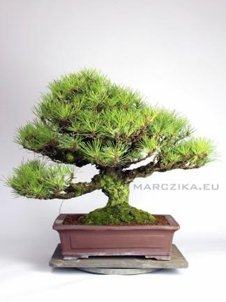 Pinus thunbergii  - Kuromatsu -  Japán feketefenyő bonsai