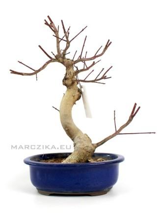 Euonymus alatus moyogi bonsai Japánból 01.