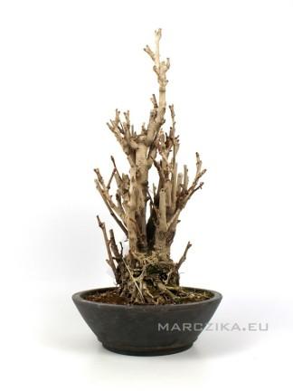 Ginkgo biloba - többtörzsű japán Páfrányfenyő bonsai 03.