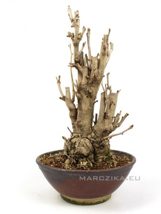 Ginkgo biloba - többtörzsű japán Páfrányfenyő bonsai 05.