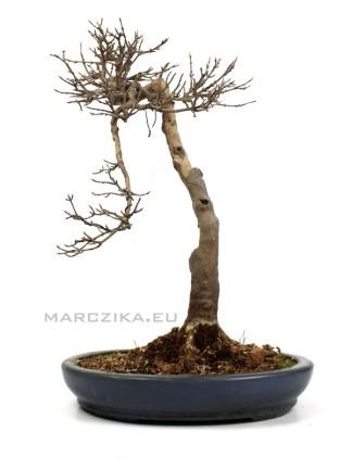 Bunjin Kaede - Acer buergerianum bonsai Japánból