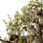 Akebia quinata kaszkád japán bonsai