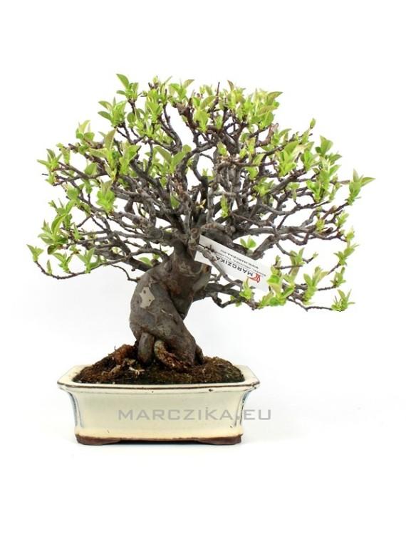Pseudocydonia sinensis japán shohin bonsai