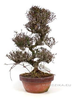 Trachelospermum Sp. moyogi bonsai Japánból