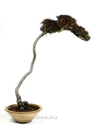 Bunjin Trachelospermum Sp. bonsai Japánból