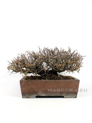 Osteomeles subrotunda japán bonsai