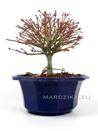 Acer palmatum 'Kiyohime' - Momiji shohin bonsai alapanyag  Japánból 02.